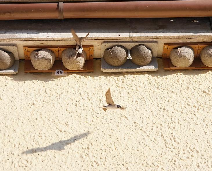 de zwaluw uitjebewust